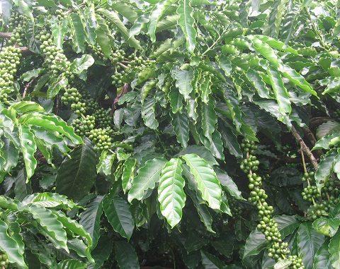 ca-phe-moka-vietnamfarmer.vn-3